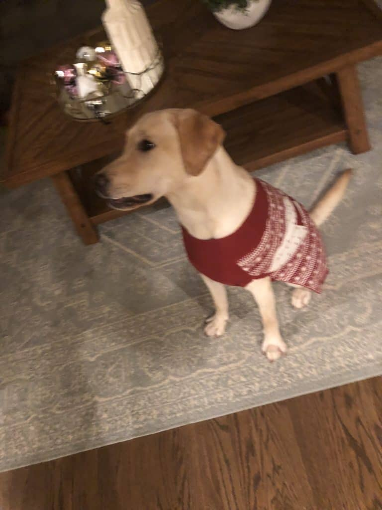 Our grandpuppy wearing a Christmas sweater.