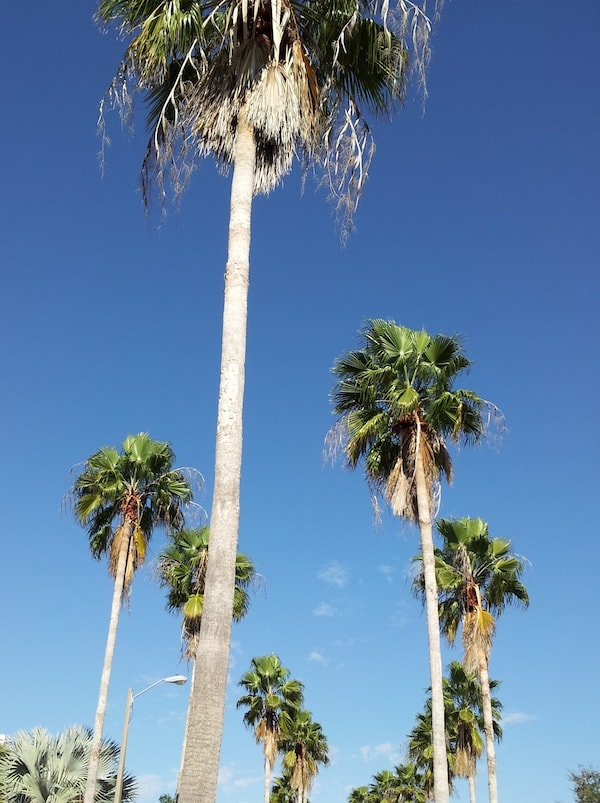 Long, lanky palm trees against the deep blue sky in Florida depict the relaxed southern way.