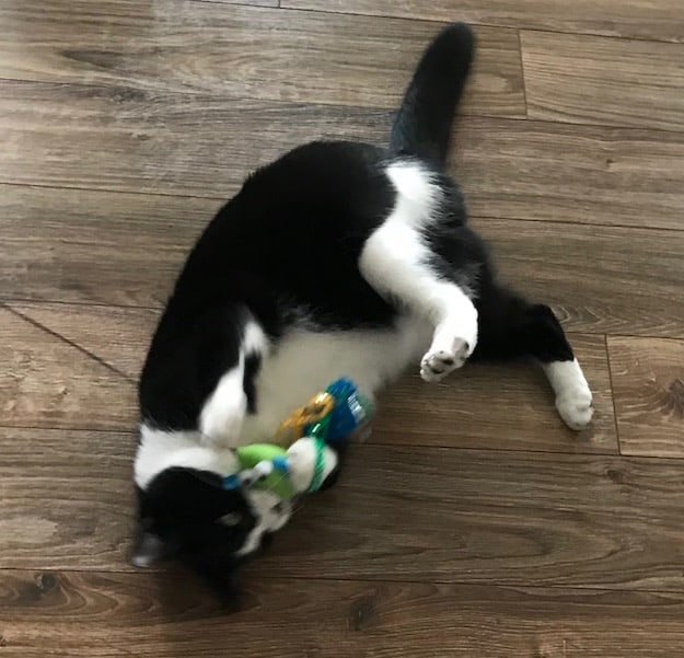 Black and white tuxedo cat playing with a toy