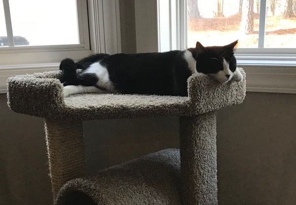 Adult black and white tuxedo cat sleeping on a cat tree next to a window