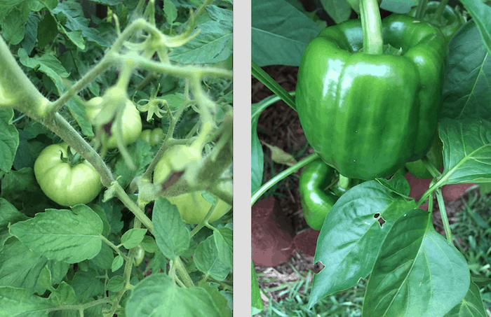 Life in the South includes tomatoes on the vine and bell peppers in the garden
