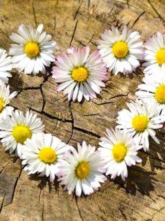 daisies arranged into a heart shape